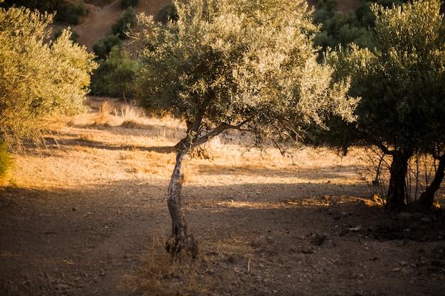 Einzelner olivenbaum auf dem gebiet