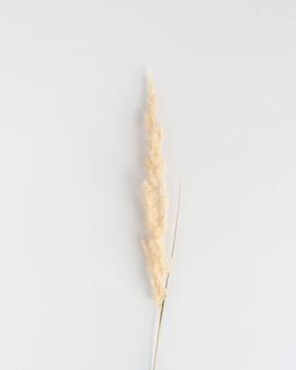 Einzelner trockener pampasgraszweig auf weißem hintergrund