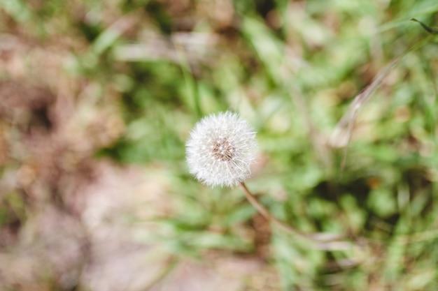 Einzelner weißer löwenzahn und einige gräser im verschwommenen