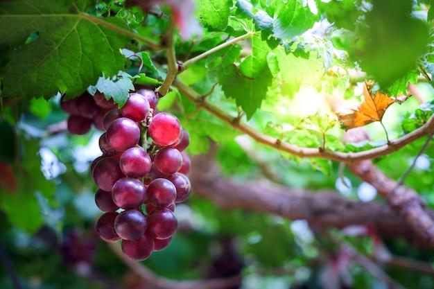 Einzelnes bündel reife trauben weinberge bei sonnenuntergang im herbstsonnenuntergang