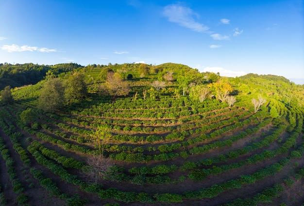 Einzigartige luftaufnahme der teeplantage auf hügel. getreide des grünen tees der kamelie im reihenmuster. klarer blauer himmel, abendlicht. ackerland in nordlaos