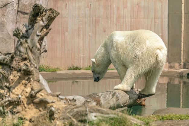Eisbär, der auf einem ast steht, der durch wasser unter sonnenlicht in einem zoo umgeben ist