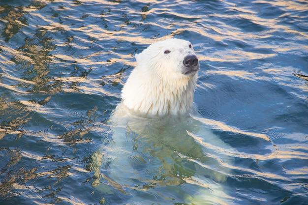 Eisbär im zoo ins wasser