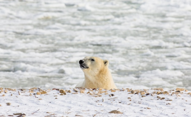 Eisbär in der tundra. schnee. kanada.