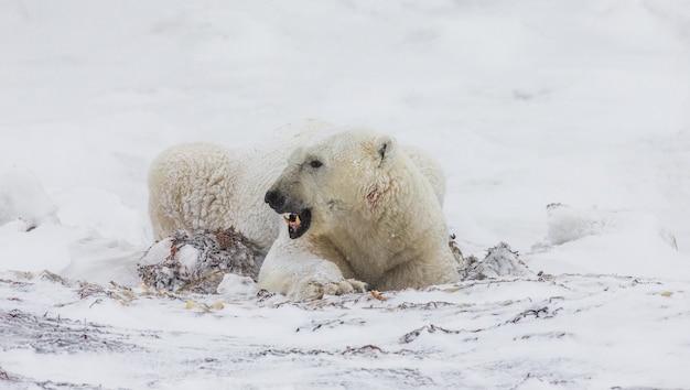 Eisbär liegt im schnee in der tundra. kanada. churchill national park.