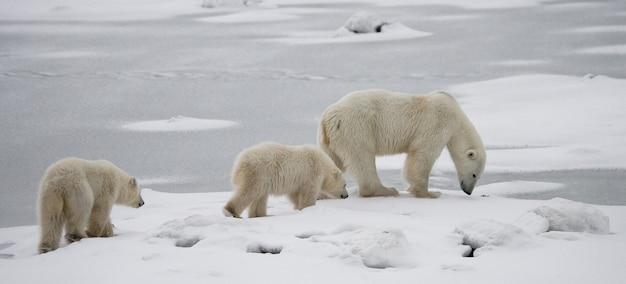 Eisbär mit einem jungen in der tundra. kanada.