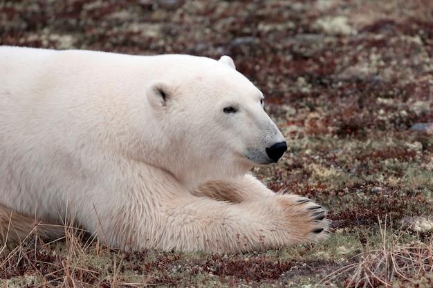 Eisbär (ursus maritimus), churchill, manitoba, kanada