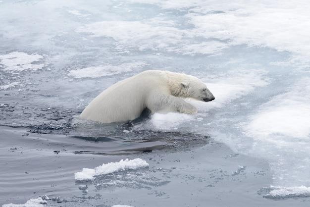 Eisbär (ursus maritimus), der oben im arktischen seeabschluß schwimmt
