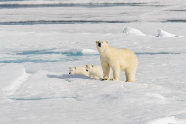 Eisbärenmutter (ursus maritimus) und zwillingsbabys auf dem packeis nördlich von svalbard arctic norway