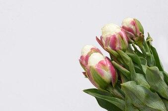 Eiscremetulpeblume für Hintergrund
