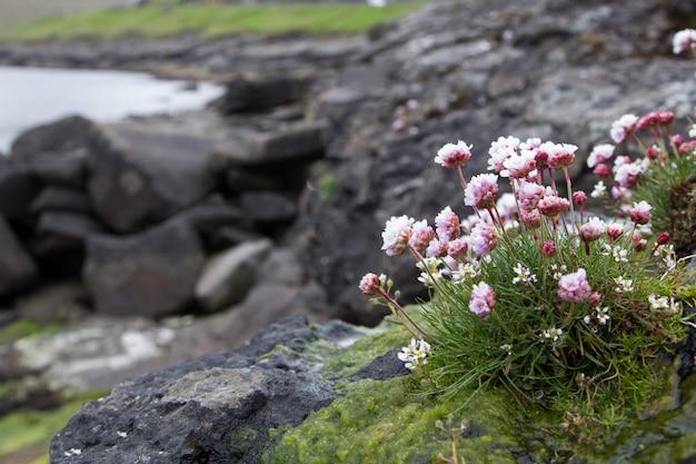 Eisenkraut. schöne blume, meer und berg. färöer inseln