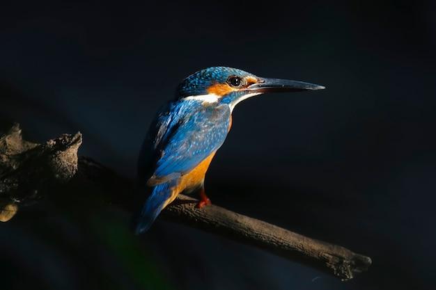 Eisvogel alcedo atthis schöne männliche vögel von thailand