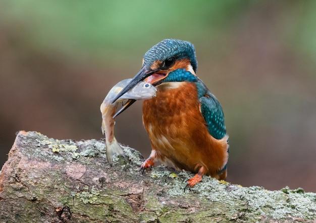 Eisvogel und fisch