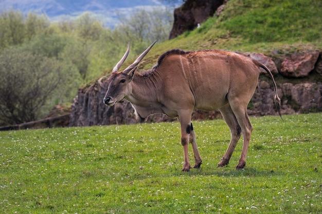 Eland (taurotragus oryx),