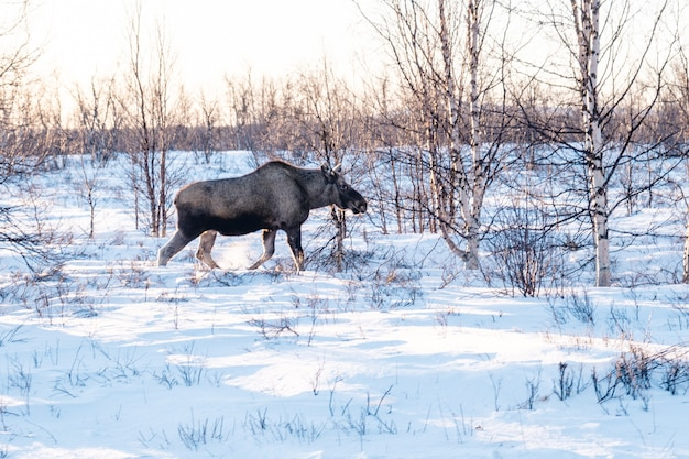 Elch, der in einem feld geht, das im schnee in nordschweden bedeckt ist