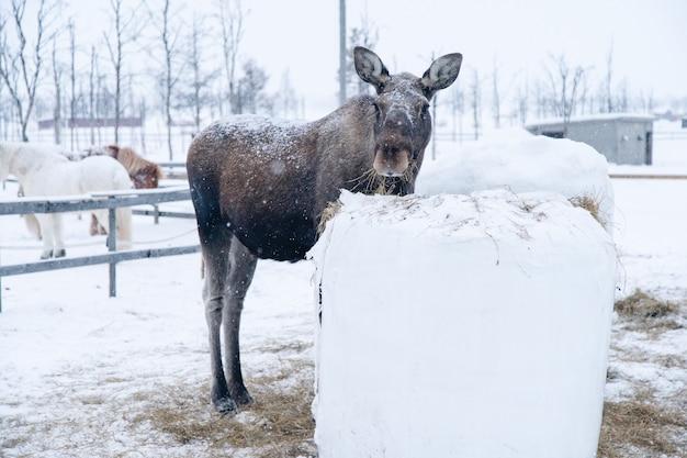 Elch, der nahe einem heublock steht, während er in richtung der kamera in nordschweden schaut