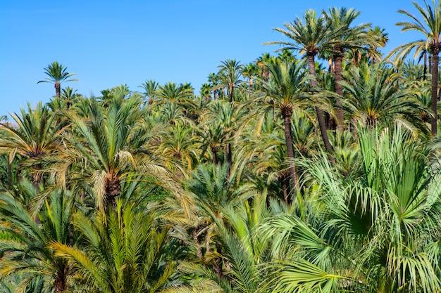 Elche elx alicante el palmeral mit vielen palmen