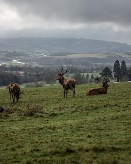 Elche grasen und ruhen in der grünen landschaft