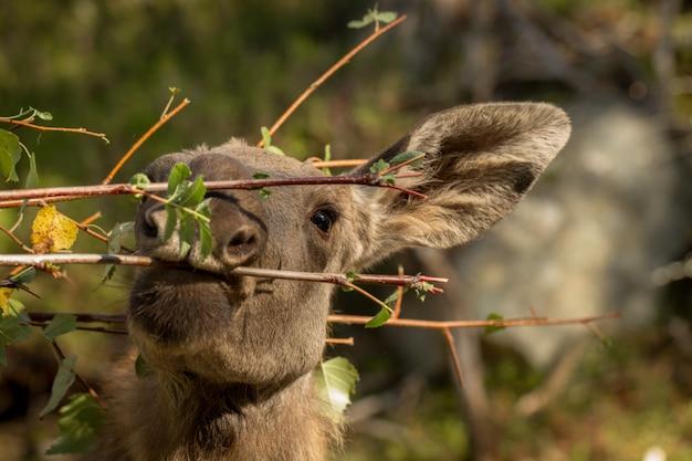 Elche oder europäische elche alces alces junges kalb, das blätter im wald isst