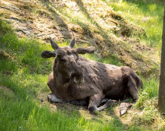 Elche oder europäische elche, alces alces, stiere mit geweih und samtfell, die im gras in den vorderteilen liegen