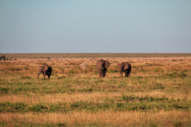 Elefant auf savanne in kenia und in tansania, afrika