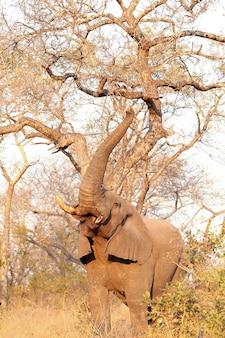Elefant auf savanne
