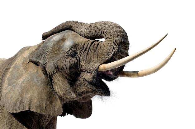 Elefant auf weiß