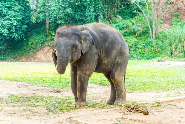 Elefant bei chiang mai, thailand