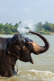 Elefant, der im fluss badet