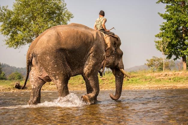 Elefant, der im fluss nach dem abschluss von trainingselefanten badet