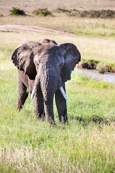 Elefant, der in der savanne geht