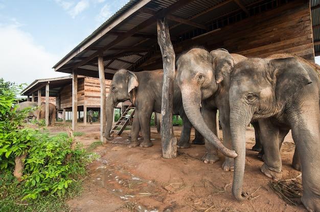 Elefant-dorf (studienzentrum) surin thailand
