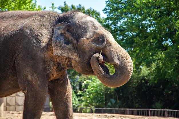 Elefant (elephantidae) im zoo, in deutschland