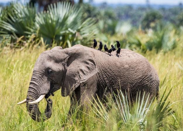 Elefant geht mit einem vogel auf dem rücken im merchinson falls national park am gras entlang