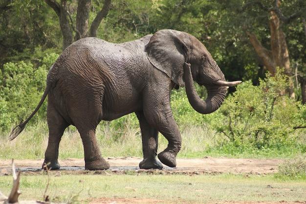 Elefant im dschungel