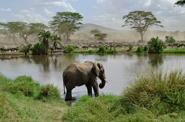 Elefant im fluss im serengeti-nationalpark