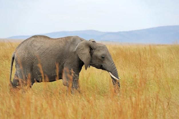 Elefant im nationalpark von kenia, in afrika