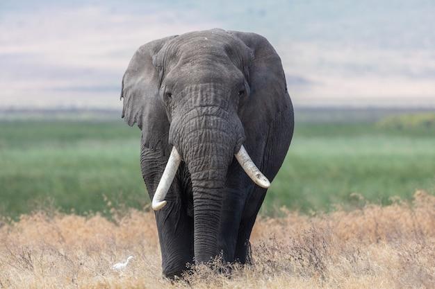 Elefant in afrika, der durch das gras im tarangire-nationalpark geht