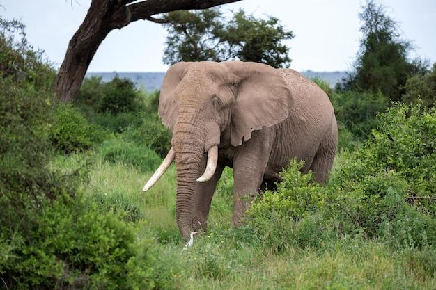 Elefant in der savanne eines nationalparks