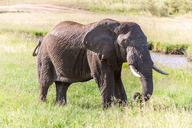 Elefant in der savanne spazieren