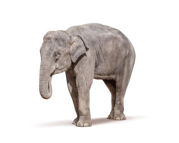 Elefant, isoliert auf weiss