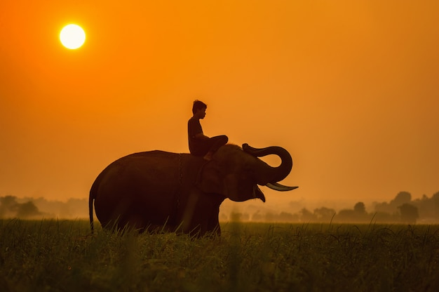 Elefant sind glücklich auf feld mit planierraupen und mahout im sonnenaufgang, surin, thailand