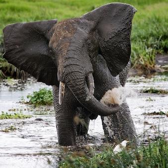Elefant trinkt wasser aus pfützen.