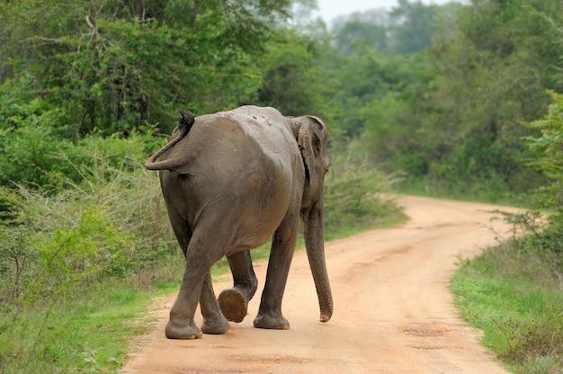 Elefanten im nationalpark von sri lanka