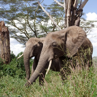 Elefanten im serengeti-nationalpark