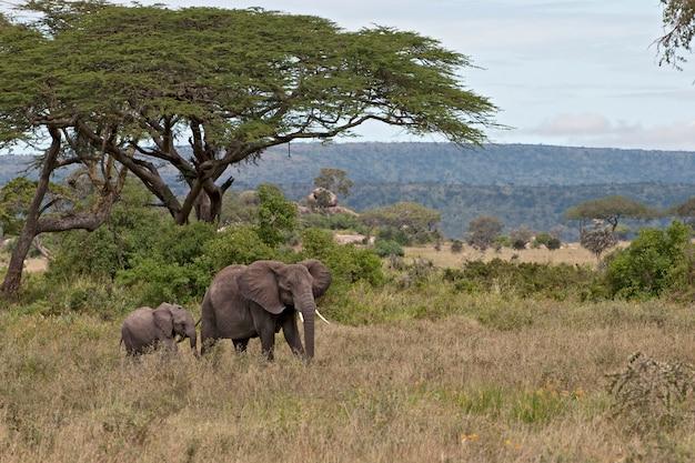 Elefanten in freier wildbahn