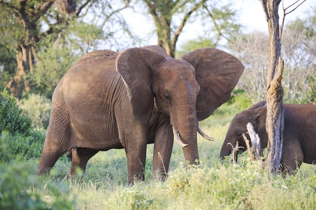 Elefanten nebeneinander im tsavo east national park, kenia