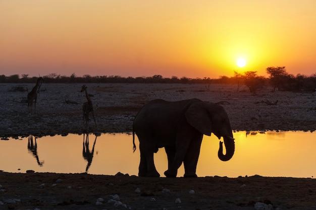 Elefanten-sonnenuntergang im etosha-nationalpark