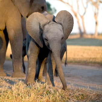 Elefantenkalb und seine mutter