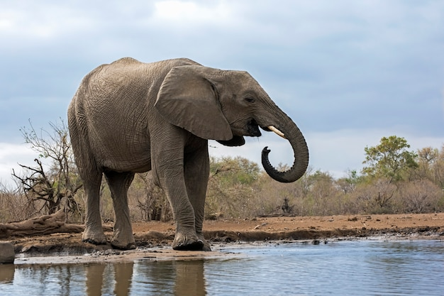 Elefantentrinkwasser aus einem see